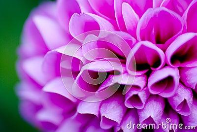 Peony flower closeup