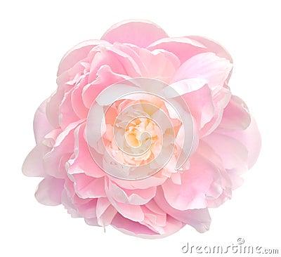 Free Peony Flower Royalty Free Stock Photography - 42402777