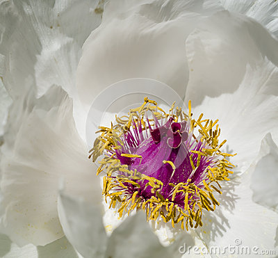 Free Peony Flower Details Stock Images - 39524714