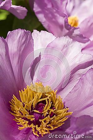 Free Peony Flower Details Stock Photo - 39524820