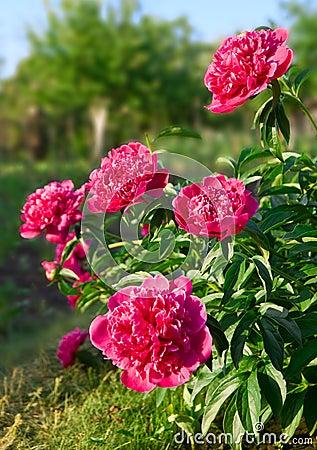 Free Peony Flowers Stock Photo - 10017100