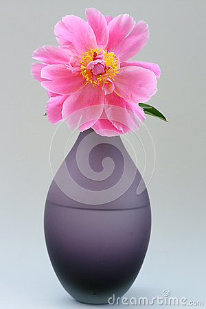 Peony Rose In Full Bloom Royalty Free Stock Image - Image: 25177906