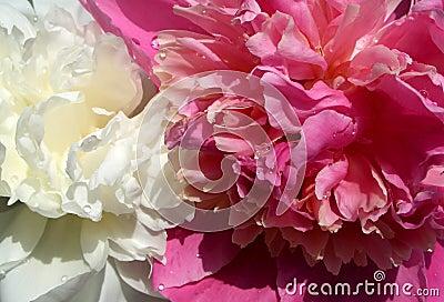 Peony white&pink...(1)
