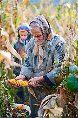 People harvesting corn