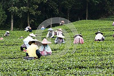 People pick tea Editorial Photo