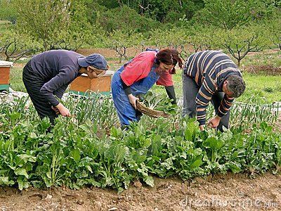 People picking chard