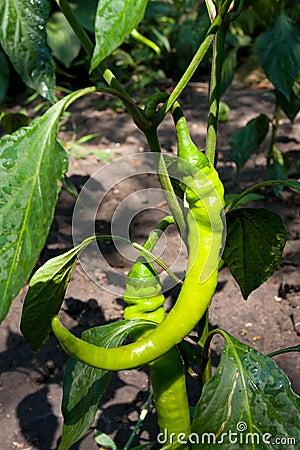 Pepper bush