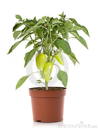 Pepper plant vegetables