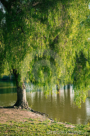 Pepper tree by a lake