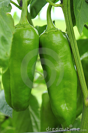 how to encourage green peppers to grow