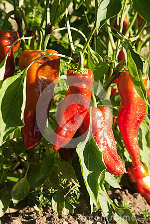 Free Peppers Stock Image - 26429531