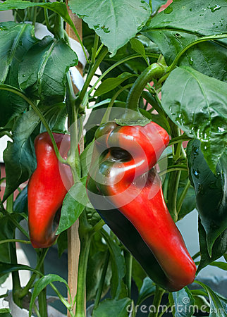 Free Peppers Ripening On Plant Royalty Free Stock Image - 26746956