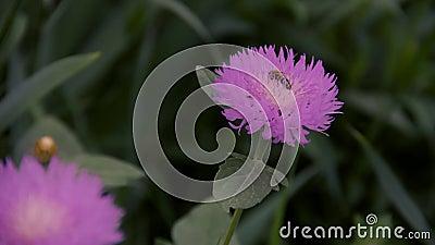 Pequeña abeja en la flor almacen de metraje de vídeo