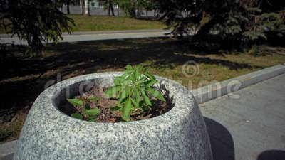 Pequeña planta del cáñamo en cama de flor en parque de la ciudad metrajes