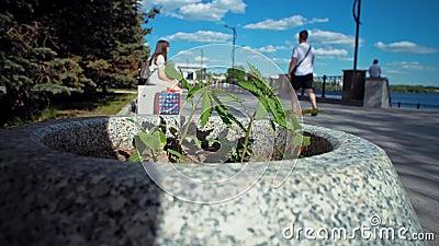 Pequeña planta del cáñamo en cama de flor en parque de la ciudad almacen de metraje de vídeo