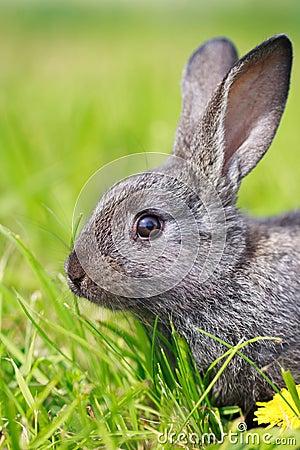 Pequeño conejo gris