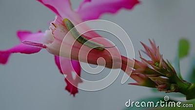 Pequeño gusano verde cuerpo largo comer flores rosas frescas en botánica jardín almacen de metraje de vídeo