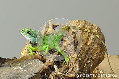 Pequeño lagarto verde en un registro 2