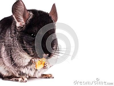 Pequeña chinchilla que come un plátano