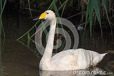 Pequeño cisne blanco