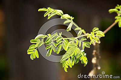Pequeño crecimiento de las hojas de Moringa