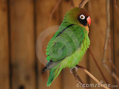 Pequeño loro verde - Lovebird, Agapornis
