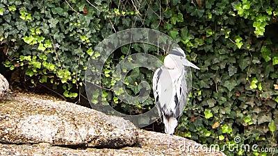 Perón gris sentado en el lado del agua y abriendo sus plumas, especie común de ave costera de Europa almacen de metraje de vídeo