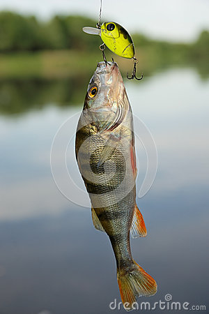 Perch caught on plastic lure