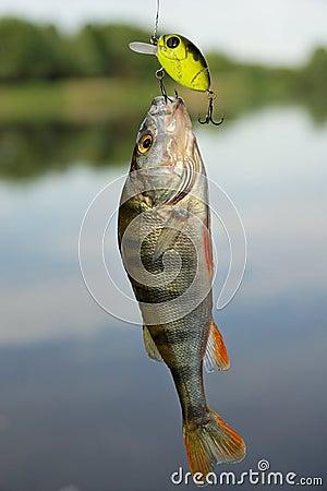 Perch caught on plastic lure