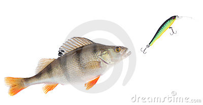 Perch chasing minnow hardbait isolated on white