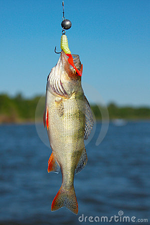 Perch excellent fishing