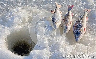 Perch fishing 4
