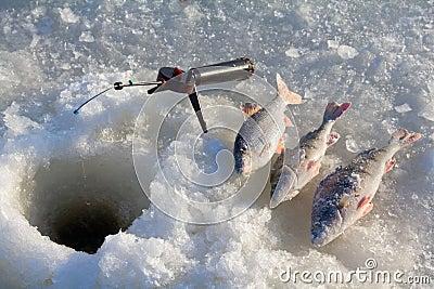 Perch fishing 6