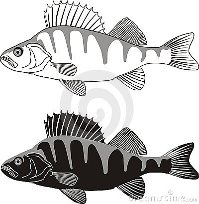 Perch - vector illustration of freshwater fish