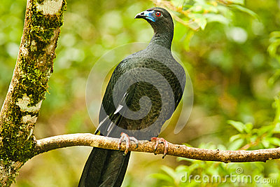 Perched Black Guan