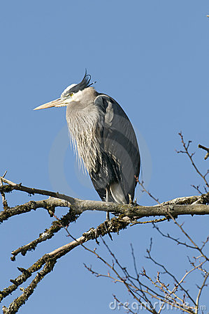 Free Perched Blue Heron Stock Image - 4492451