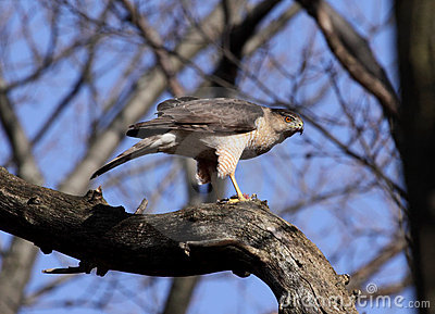 Perched Cooper s Hawk
