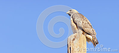 Perched Hawk Over Blue