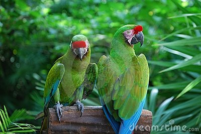 Perched Military Macaws