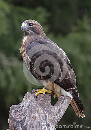 Red Tailed Hawk Perched Perched Red-tailed Haw...