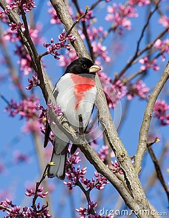 Perched rose-breasted grosbeak