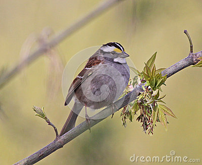 Perched White-throated Sparrow