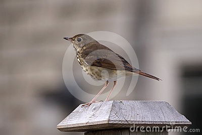 Perched Wood Thrush