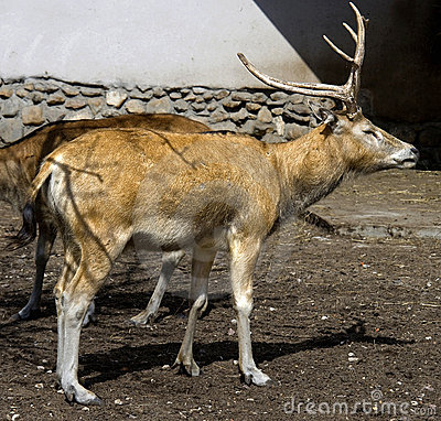 Free Pere David`s Deer 1 Stock Photography - 9477162