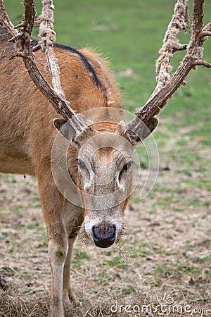 Free Pere David S Deer Stock Photo - 14614480