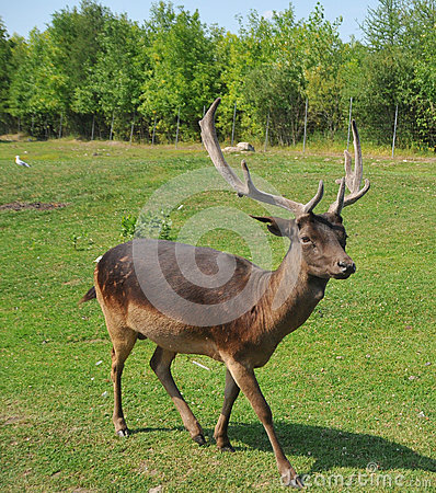Free Pere David`s Deer Royalty Free Stock Photography - 89998367