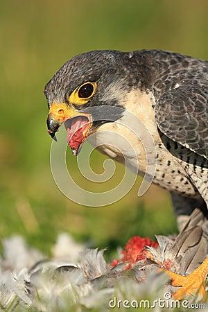 Free Peregrine Falcon Royalty Free Stock Image - 17733186