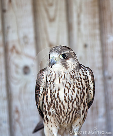 Free Peregrine Falcon Royalty Free Stock Images - 40514209