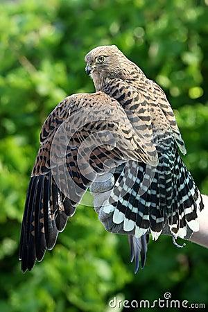 Free Peregrine Falcon Bird Royalty Free Stock Photography - 15848487