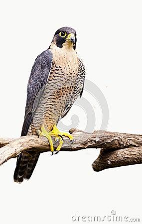 Free Peregrine Falcon Falco Peregrinus Bird Stock Photo - 39553030